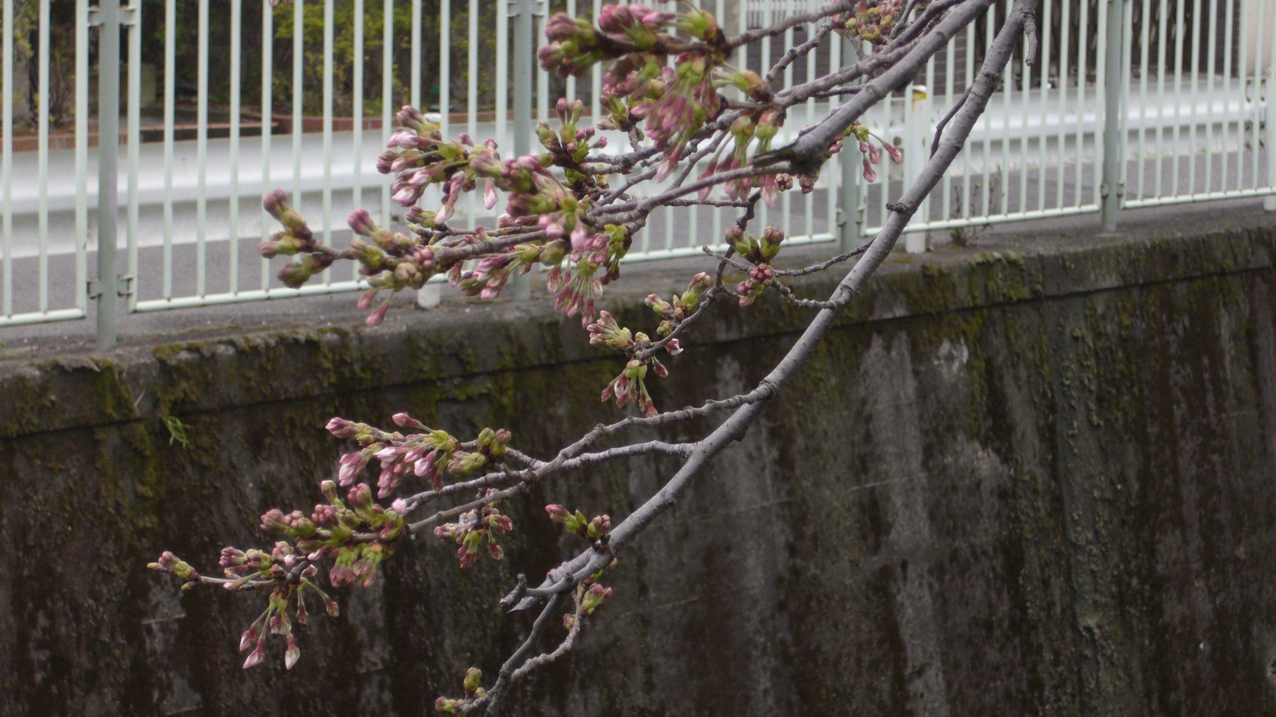 takaido09sakura-1.jpg