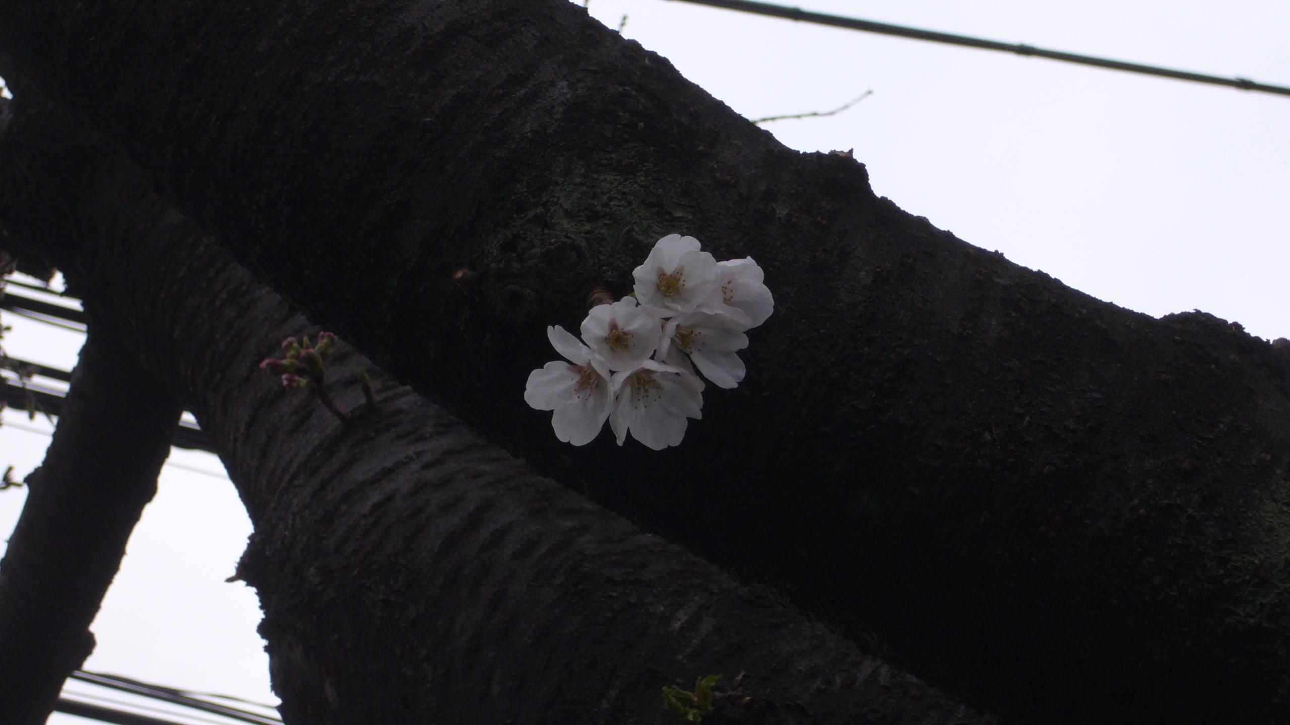 takaido09sakura-2.jpg