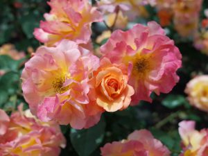 高井戸 アンネのバラ